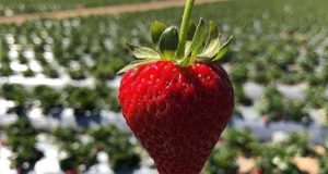 Wisata Kebun Strawberry Ciwidey
