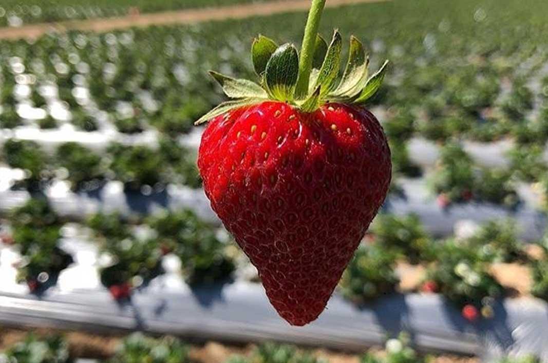 7 Spot Foto Kebun Strawberry Ciwidey Harga Tiket 2020 1